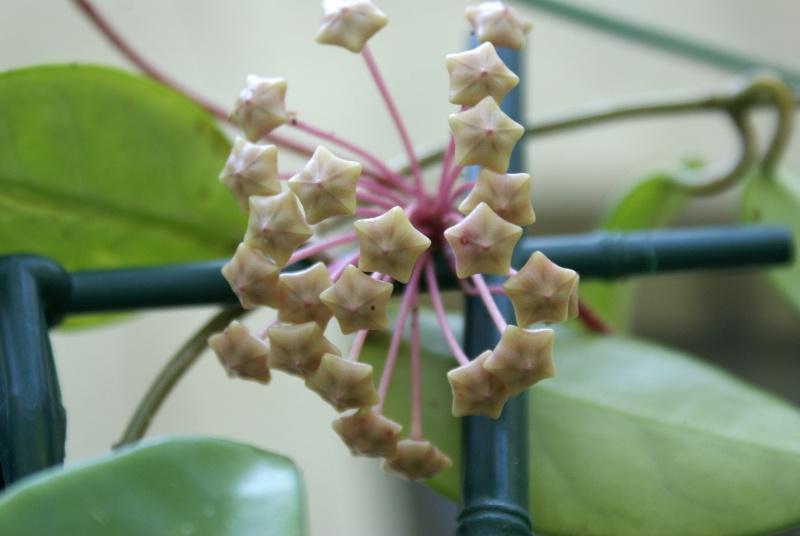 Hoya carnosa Dsc02034