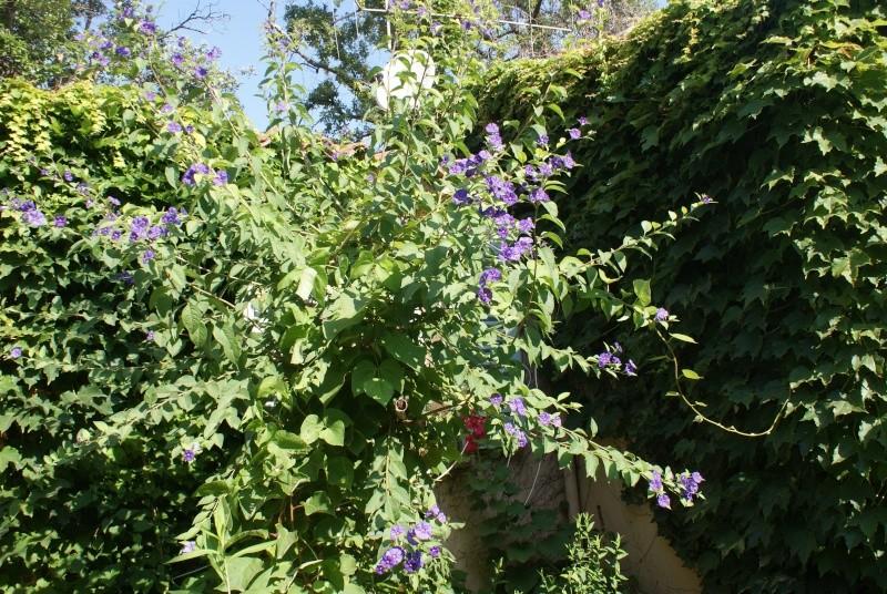Solanum rantonetti Dsc02048