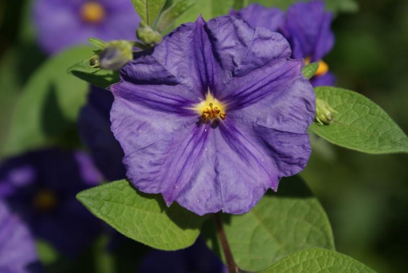 Solanum rantonetti Dsc02049