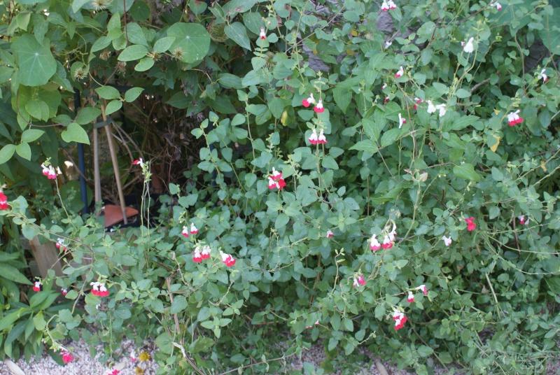 "Salvia Microphylla ""Hot Lips""   Dsc02120"