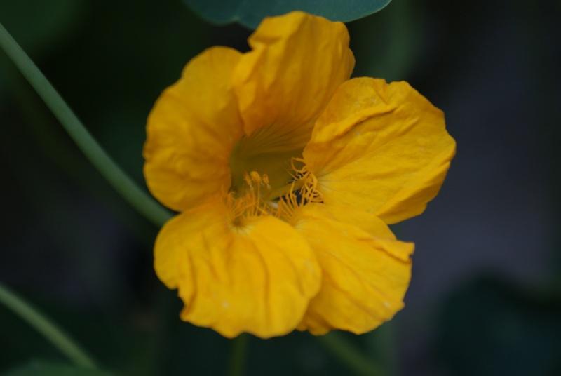 Tropaeolum majus (capucines) Dsc02122