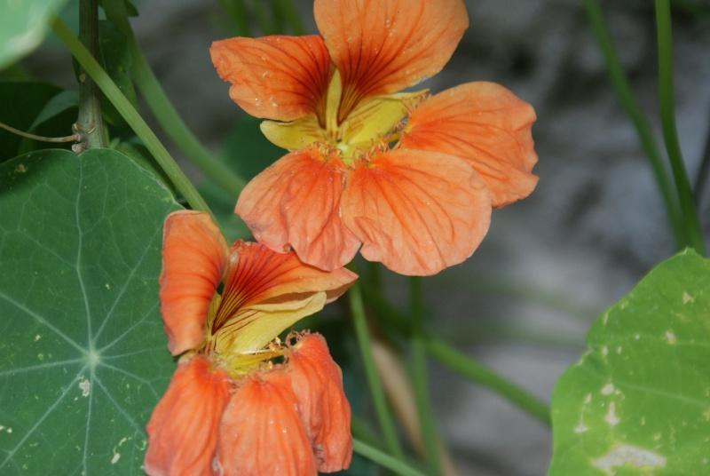 Tropaeolum majus (capucines) Dsc02123
