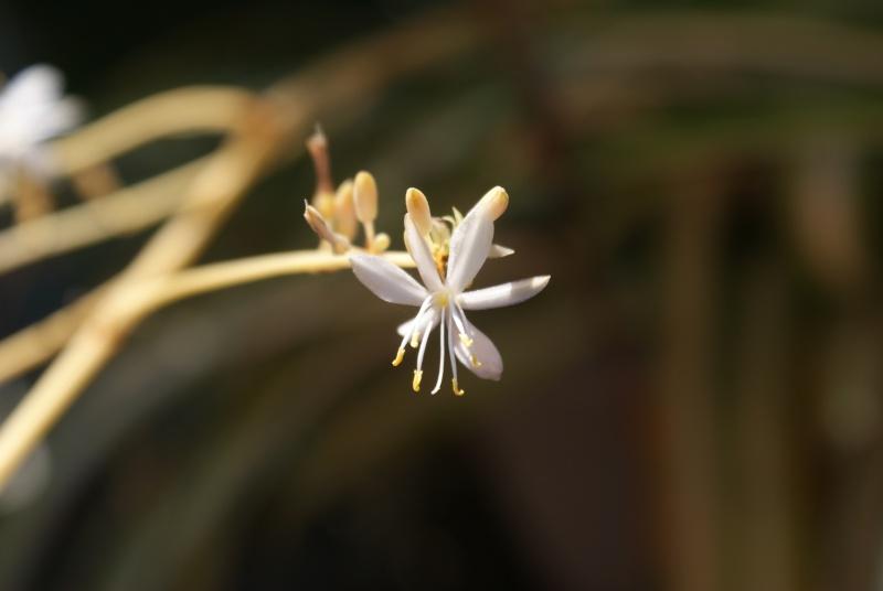 Chlorophytum ou plante araignée  Dsc02163