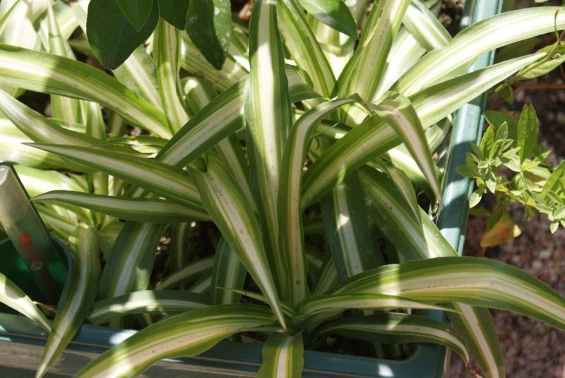 Chlorophytum ou plante araignée  Dsc02164