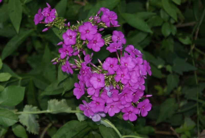 Phlox vivace, Phlox paniculata Dsc02186