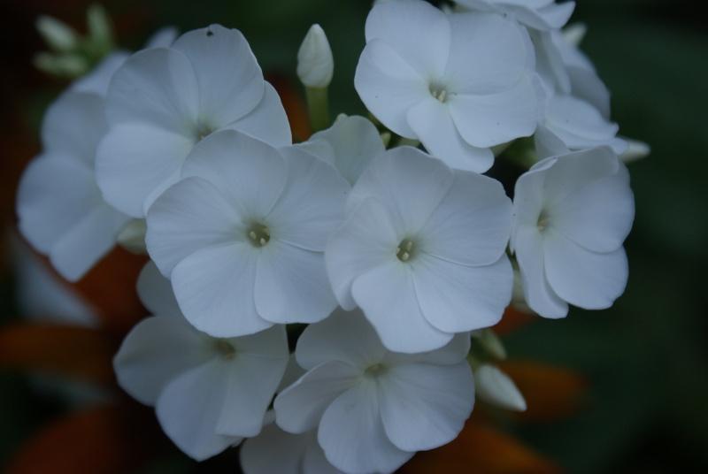 Phlox vivace, Phlox paniculata Dsc02213