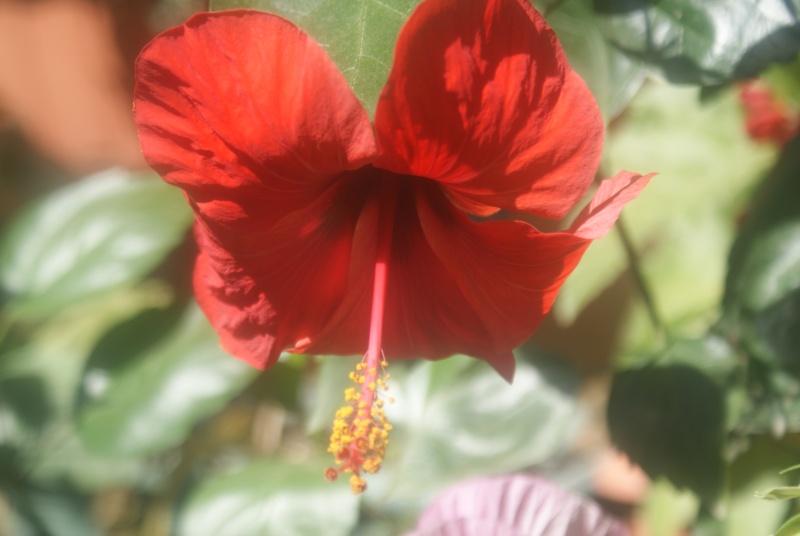 Bouturer l' Hibiscus syriacus Dsc02329