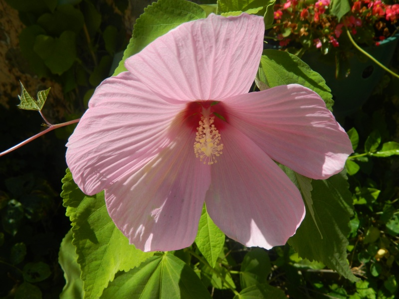 hibiscus a fleur géante:Hibiscus moscheutos cv disco - Page 10 Epyphi19