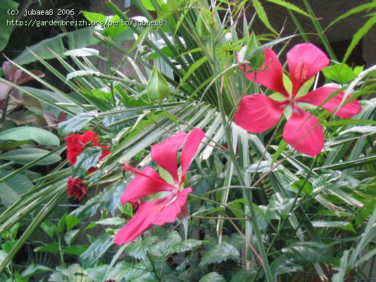 Hibiscus coccineus Gbpix_10