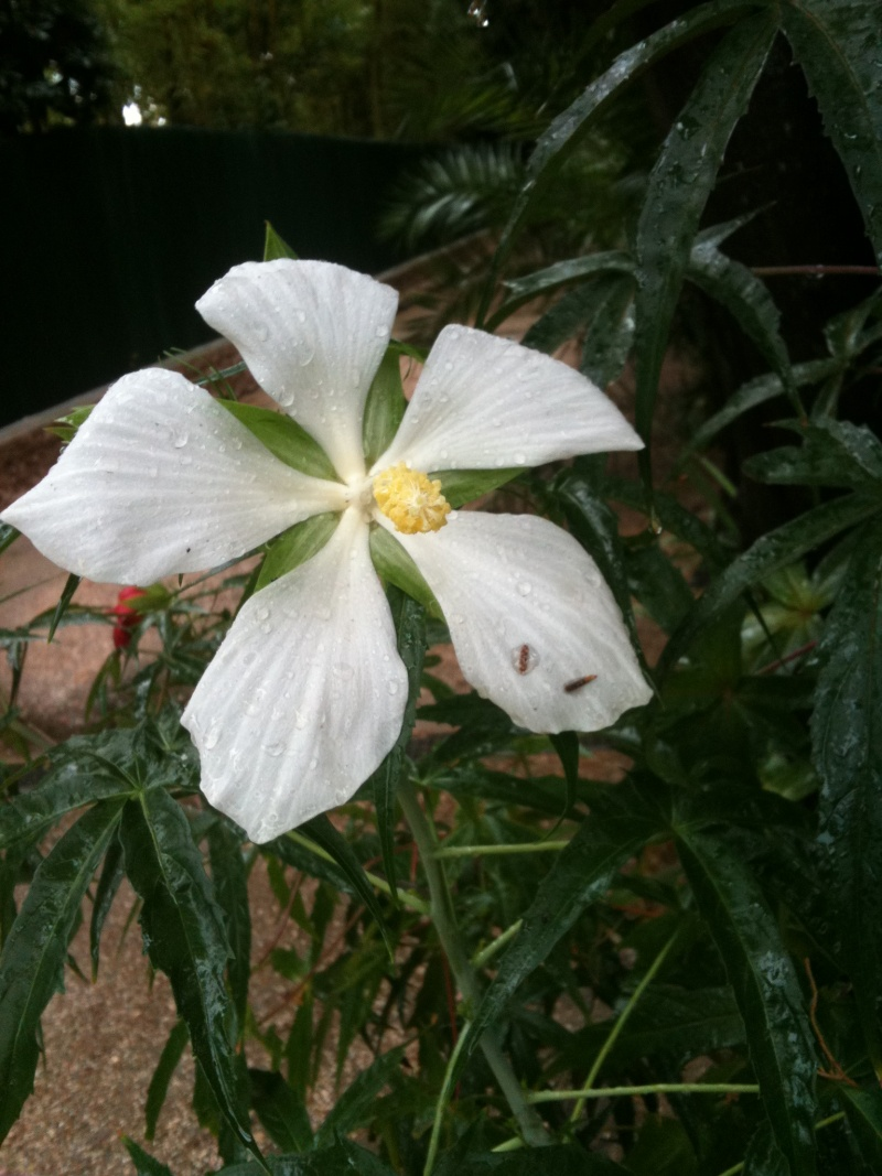 Hibiscus coccineus - Page 2 Hibisc18