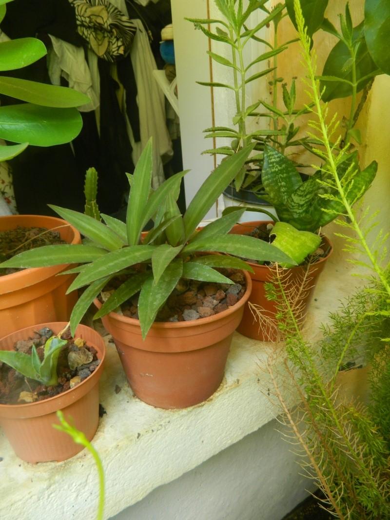 Mystérieuse  heuphorbia neriifolia Myster11