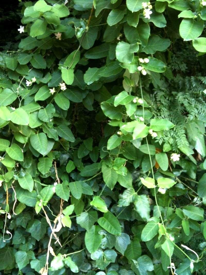 Araujia  (plante cruelle) Plante12