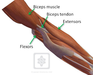 Rupture du tendon du biceps Sd_elb10