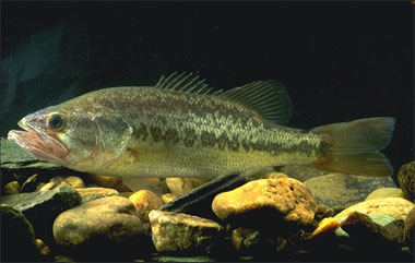 Quiz expert - pour les accros des poissons eau douce-saumâtre (600 points) - Page 6 Bousss10