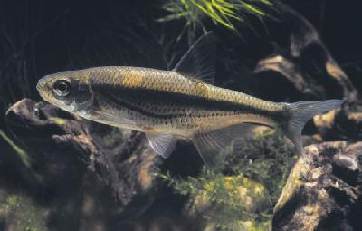 Quiz expert - pour les accros des poissons eau douce-saumâtre (600 points) - Page 5 Pas_po10
