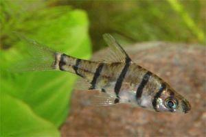Quiz expert - pour les accros des poissons eau douce-saumâtre (600 points) - Page 6 Tatata10