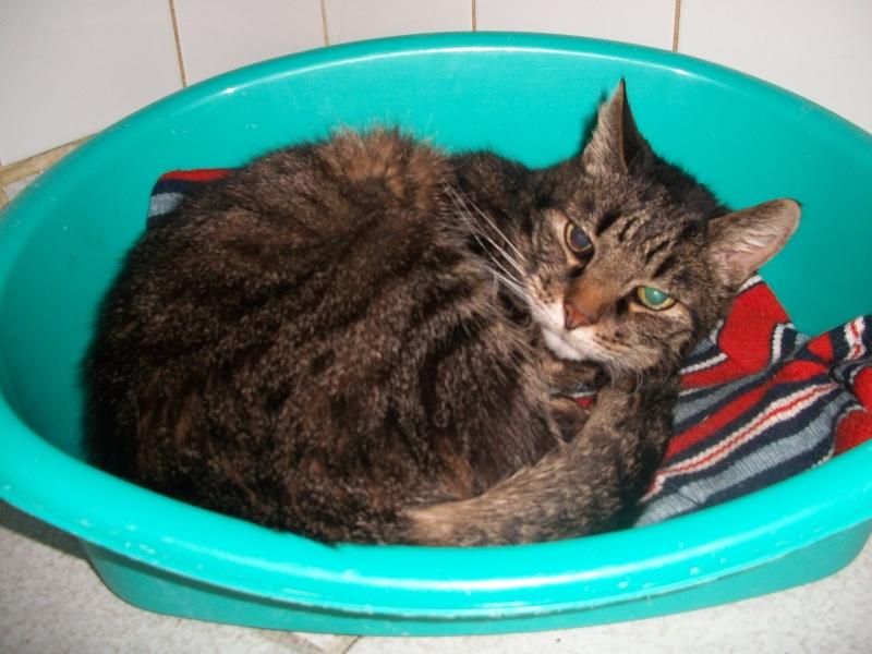 FRIPOUILLE chat tatoué trouvé à Issoire 01910