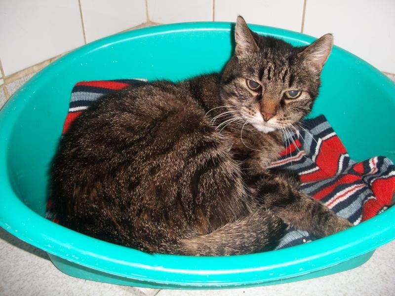 FRIPOUILLE chat tatoué trouvé à Issoire 02010
