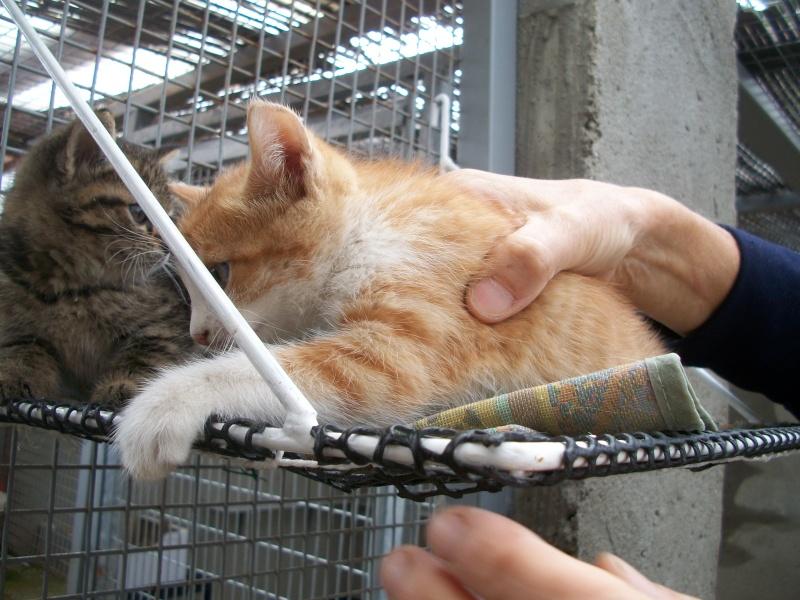 GIBBS (chaton mâle roux et blanc) 02610