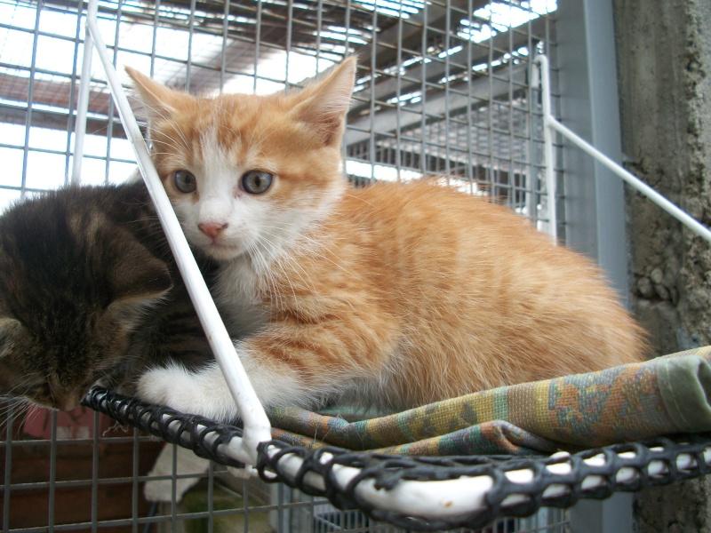 GIBBS (chaton mâle roux et blanc) 02811