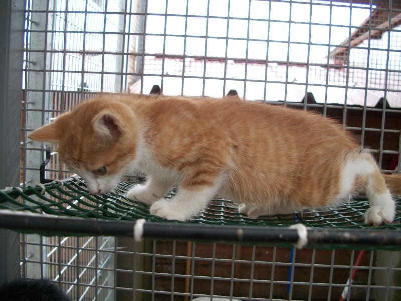 GIBBS (chaton mâle roux et blanc) 03010