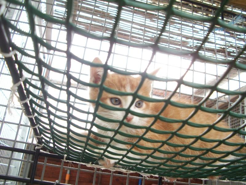 GIBBS (chaton mâle roux et blanc) 03213