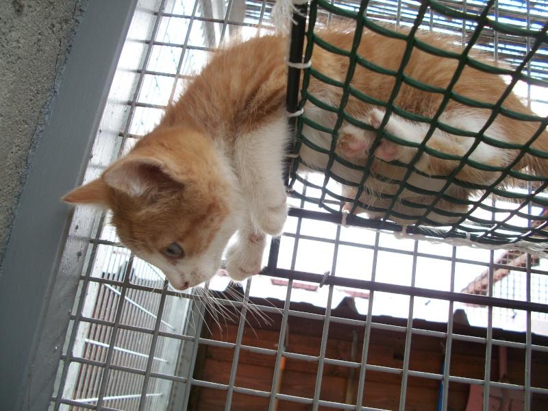 GIBBS (chaton mâle roux et blanc) 03311