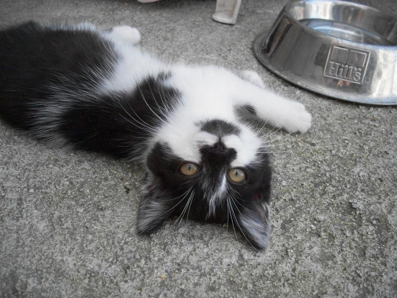 CALINE (chaton femelle noire et blanche)réservée 101_2026
