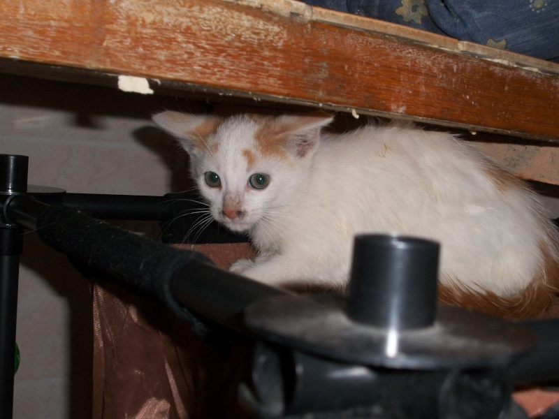 EMIR (chaton européen blanc et roux) 101_2611