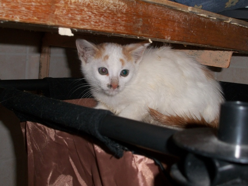 EMIR (chaton européen blanc et roux) 101_2612