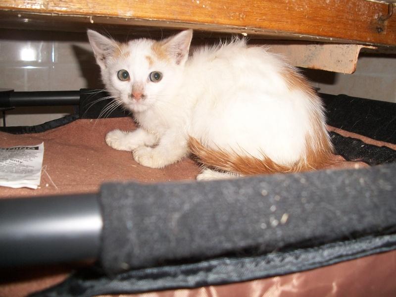 EMIR (chaton européen blanc et roux) 101_2613