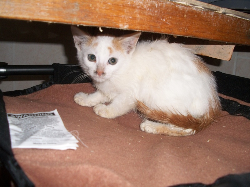 EMIR (chaton européen blanc et roux) 101_2614