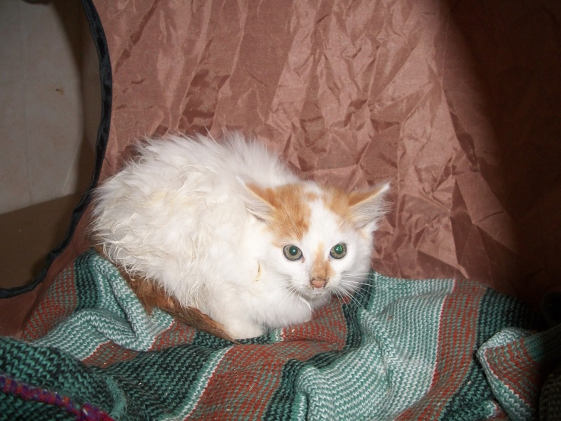 EVEN (chaton mâle angora blanc et roux) 101_2615