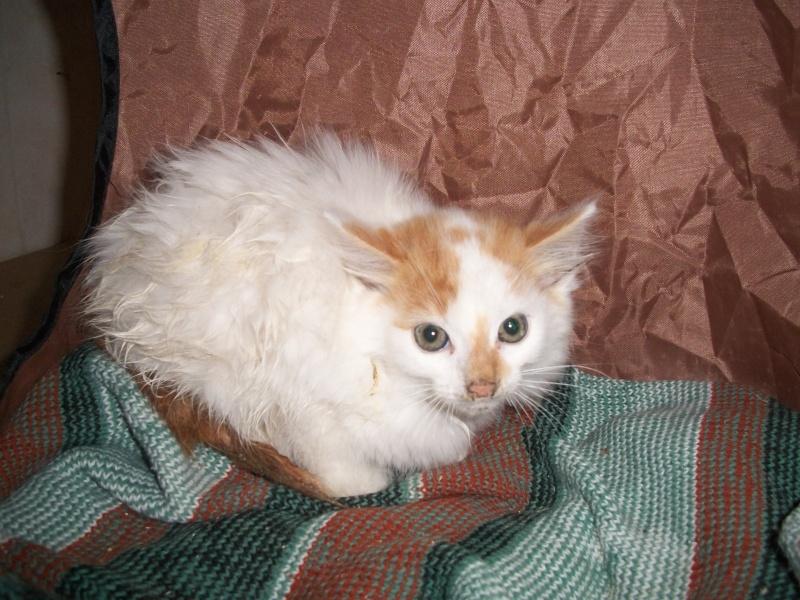 EVEN (chaton mâle angora blanc et roux) 101_2710
