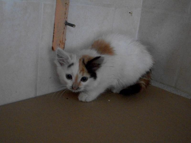 ELEA (chaton femelle angora tricolore)réservée 101_2711