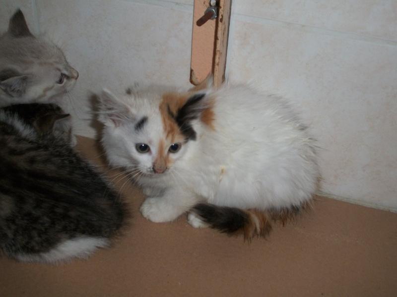 ELEA (chaton femelle angora tricolore)réservée 101_2712