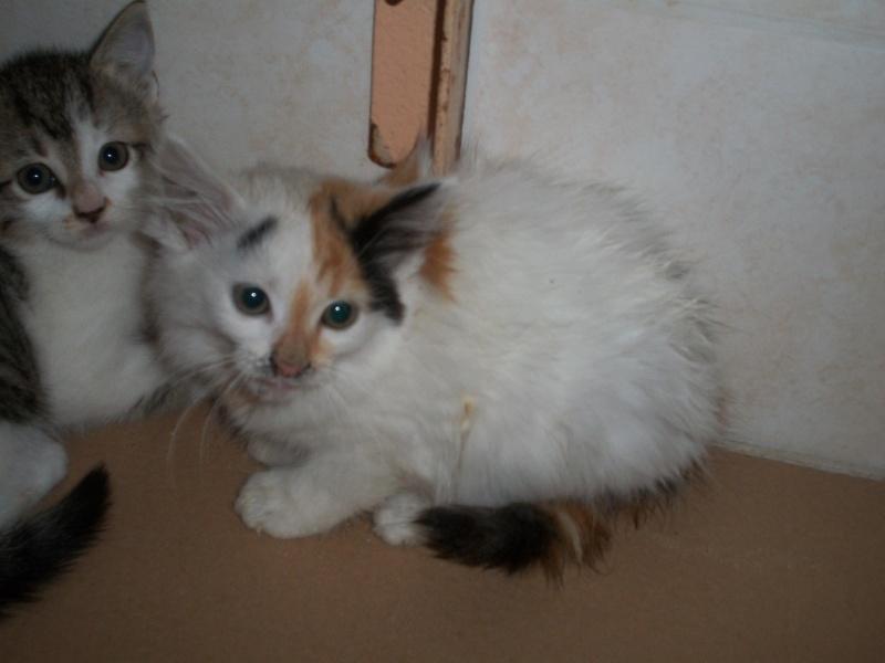 ELEA (chaton femelle angora tricolore)réservée 101_2713