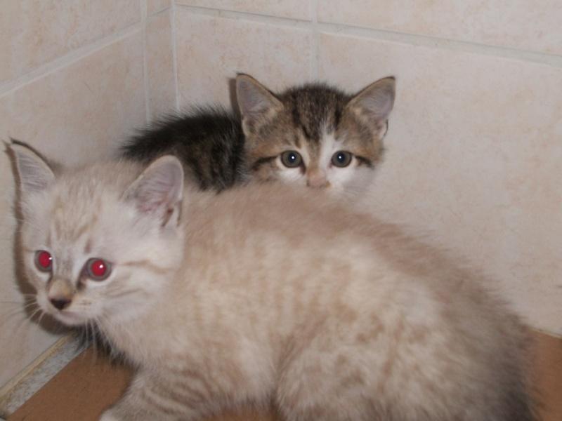 THEMIS (chaton femelle tigrée blanche) 101_2714