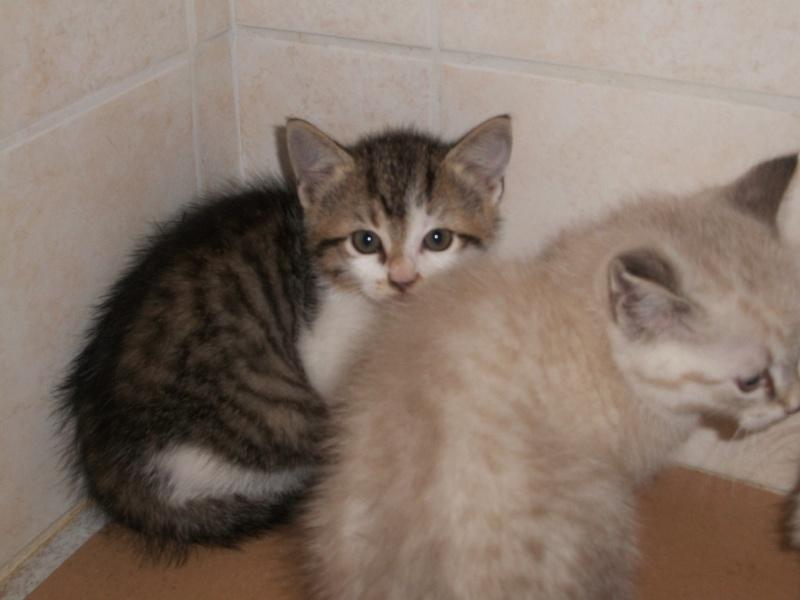 THEMIS (chaton femelle tigrée blanche) 101_2715