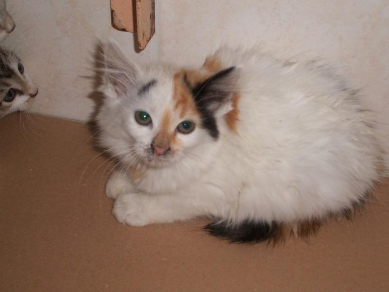 ELEA (chaton femelle angora tricolore)réservée 101_2718