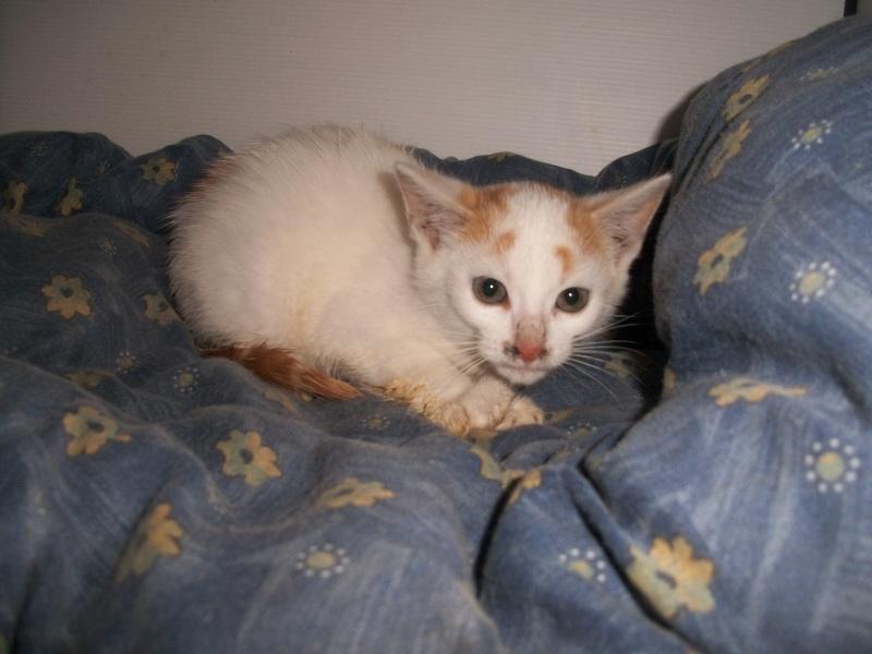 EMIR (chaton européen blanc et roux) 101_2726