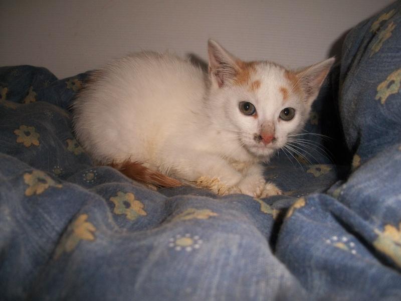 EMIR (chaton européen blanc et roux) 101_2727