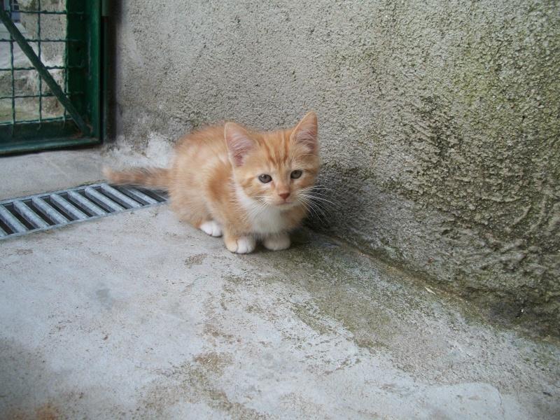 MADRID (chaton femelle rousse et  blanche) 101_2728
