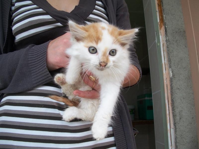 EVEN (chaton mâle angora blanc et roux) 101_2734