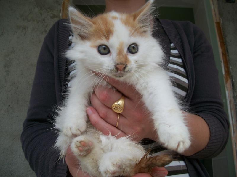EVEN (chaton mâle angora blanc et roux) 101_2735