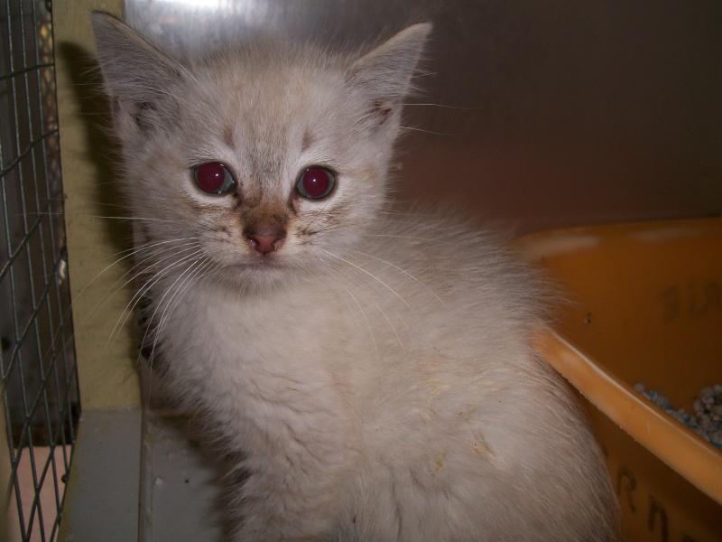 FACIL (chaton mâle typé siamois) 101_2826