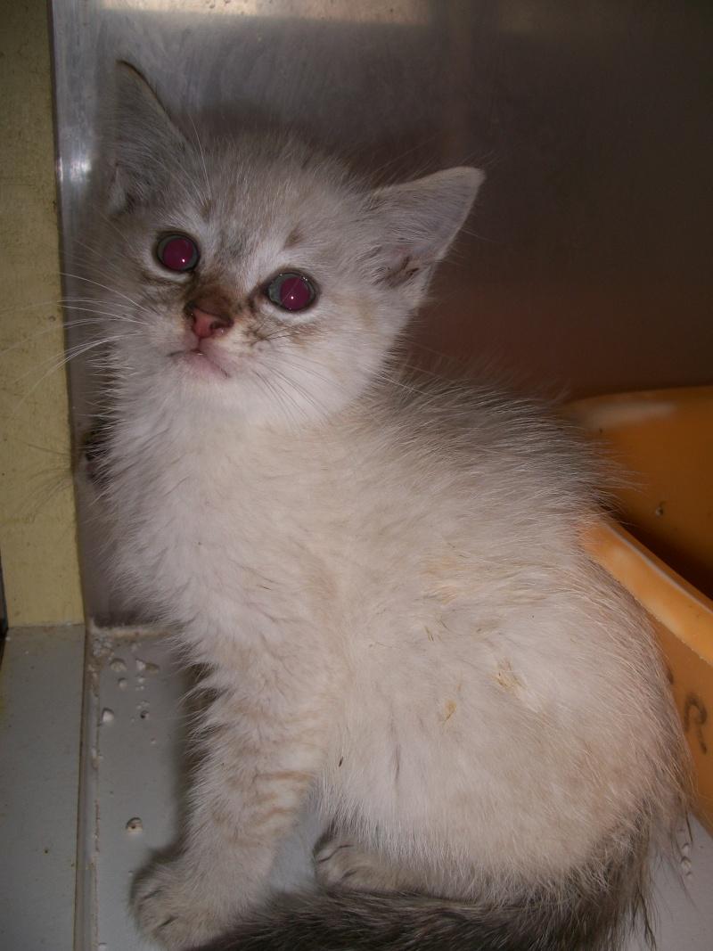 FACIL (chaton mâle typé siamois) 101_2827