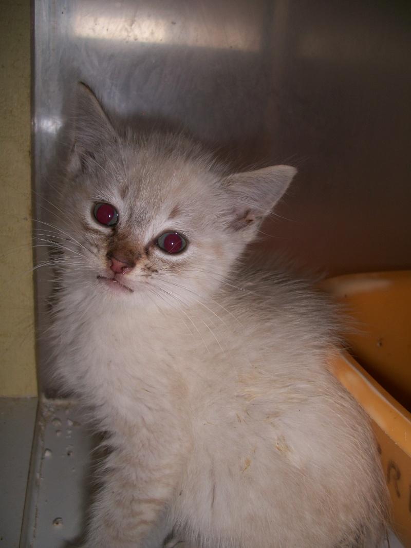 FACIL (chaton mâle typé siamois) 101_2828