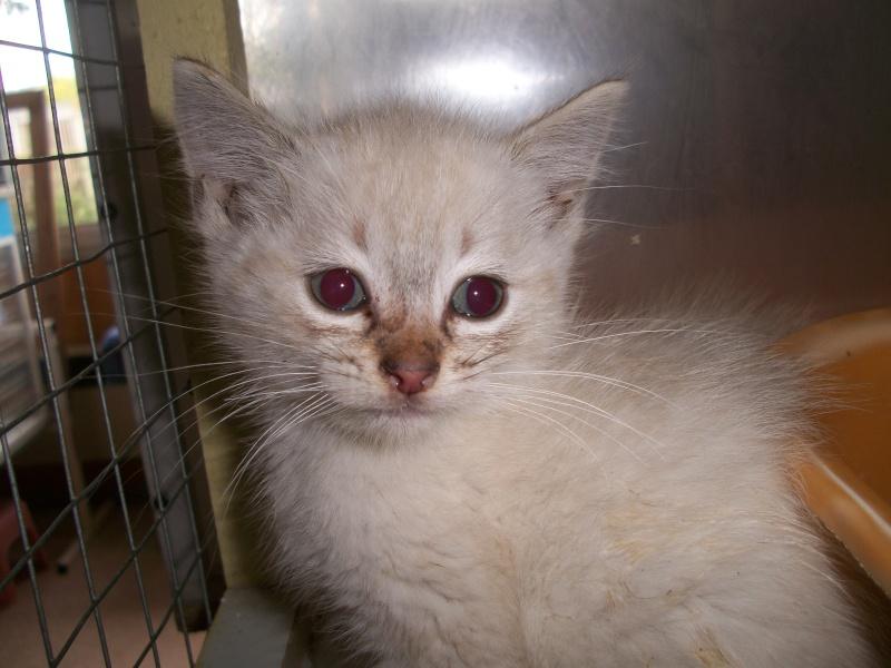 FACIL (chaton mâle typé siamois) 101_2829