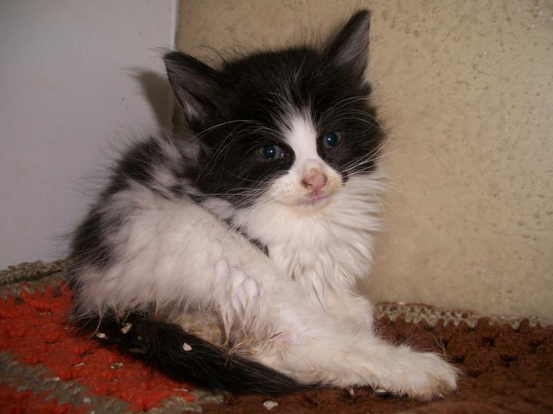 FOOD (chaton mâle angora noir et blanc) 101_2831